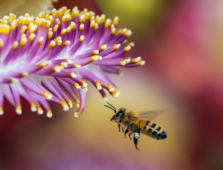 A Bee Collecting Pollen from a Flower on a Pink Blurred Background