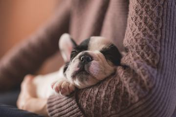 Tiny French Bulldog Napping in the Arms of his Mistress