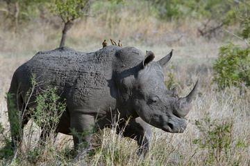 Symbiotic Relationship Birds and Rhino