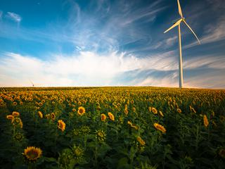 Yellow Sunflowers Field and Wind Power