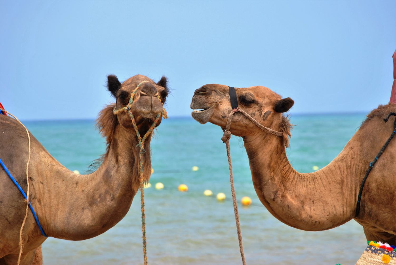 Two Camels on the Beach