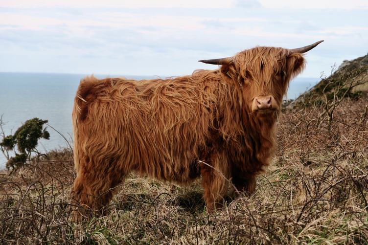 A Cute Red Hairy Cow Grazing on a Cliff