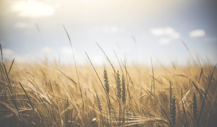 Cereals Field under the Summer Sky