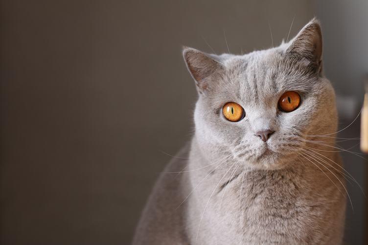 Light Gray Fluffy Cat with Orange Eyes