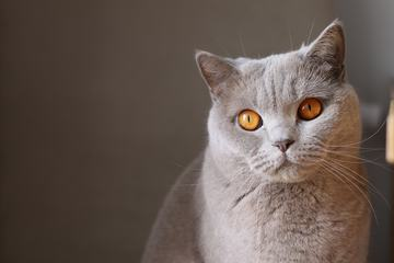 Light Gray Fluffy Cat with Orange Eyes