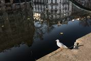 Seagull in front of Buildings Reflected in the Canal