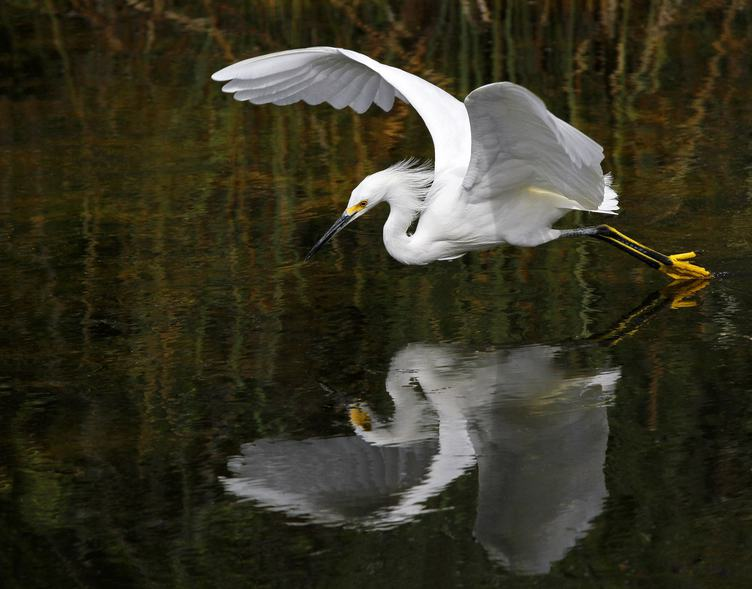 Heron Landing on Water and its Reflection