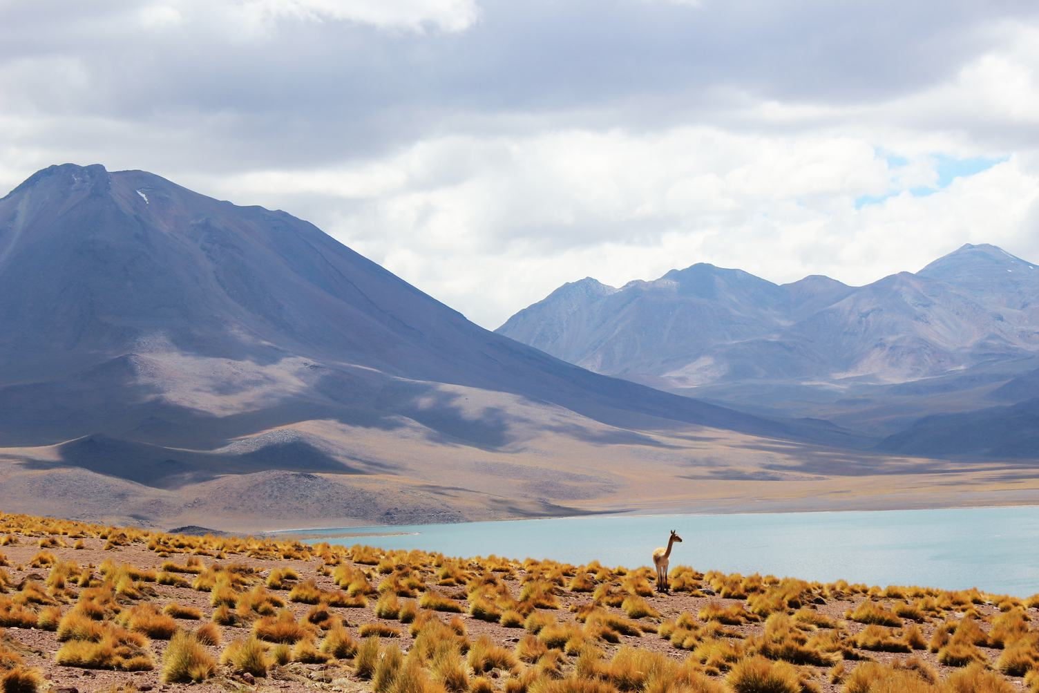 Lonely Lama in Andes Grassland
