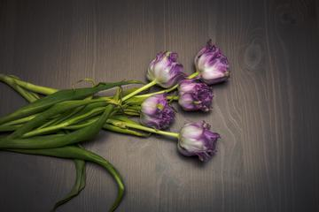 Purple Tulips Lie on the Wooden Table
