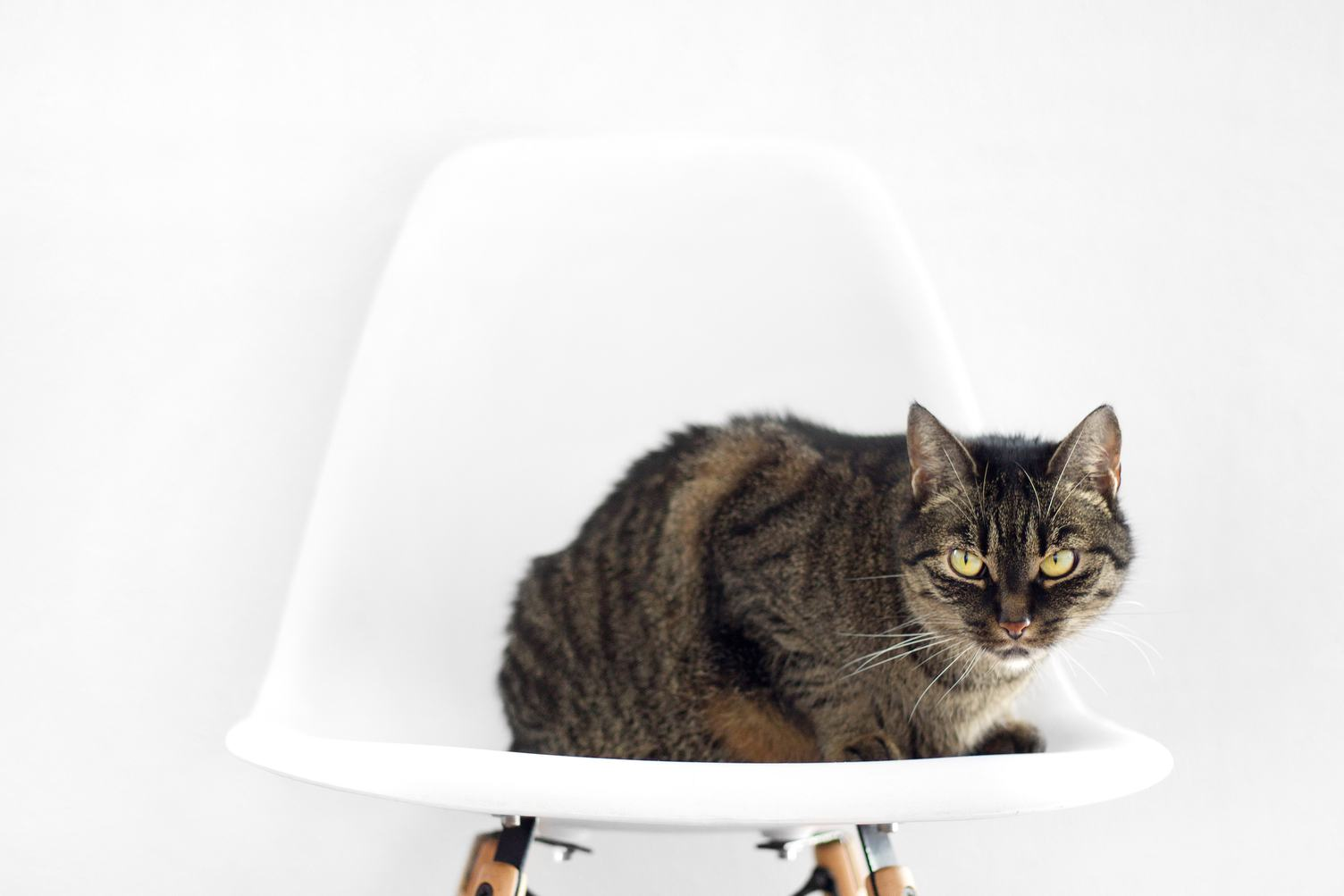 Gray Tabby Cat Sitting on White Chair on Light Background