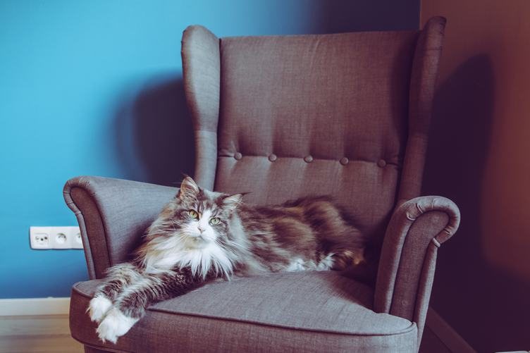 Longhair Maine Coon Cat Lying in Comfortable Armchair