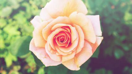 Single Tea Rose Close-up