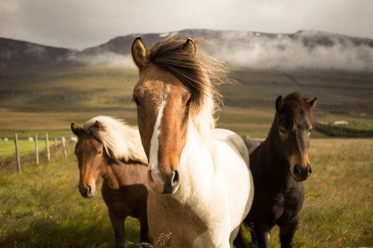 Icelandic Horses in the Pasture with Mountains in the Background