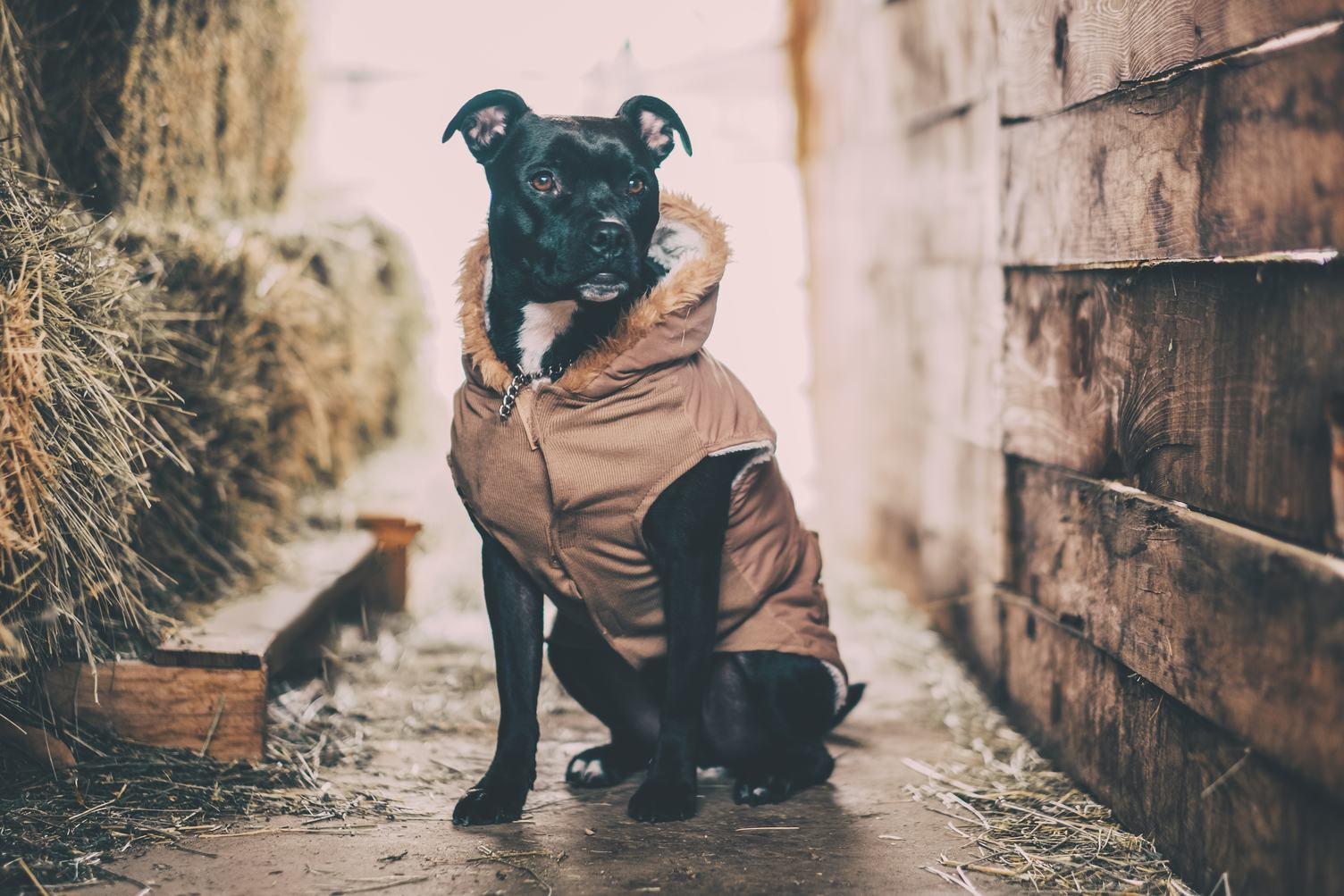 Black Dog  in Barn Wearing Clothing