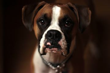 Boxer Dog Portrait on Blurred Background