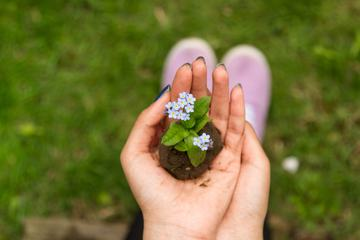 Woman Hands Holding Young Forget Me Not Seedling with Soil