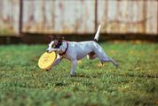 Jack Russell Terrier Running with Frisbee