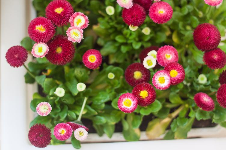 Pink Daisies Grow in a Pot