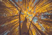 Sunset Light on Autumn Birch Trees