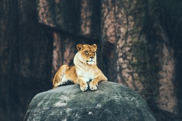 Tiger Sitting on the Rock