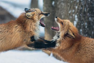 Two Foxes Fighting in Forest in Winter Time