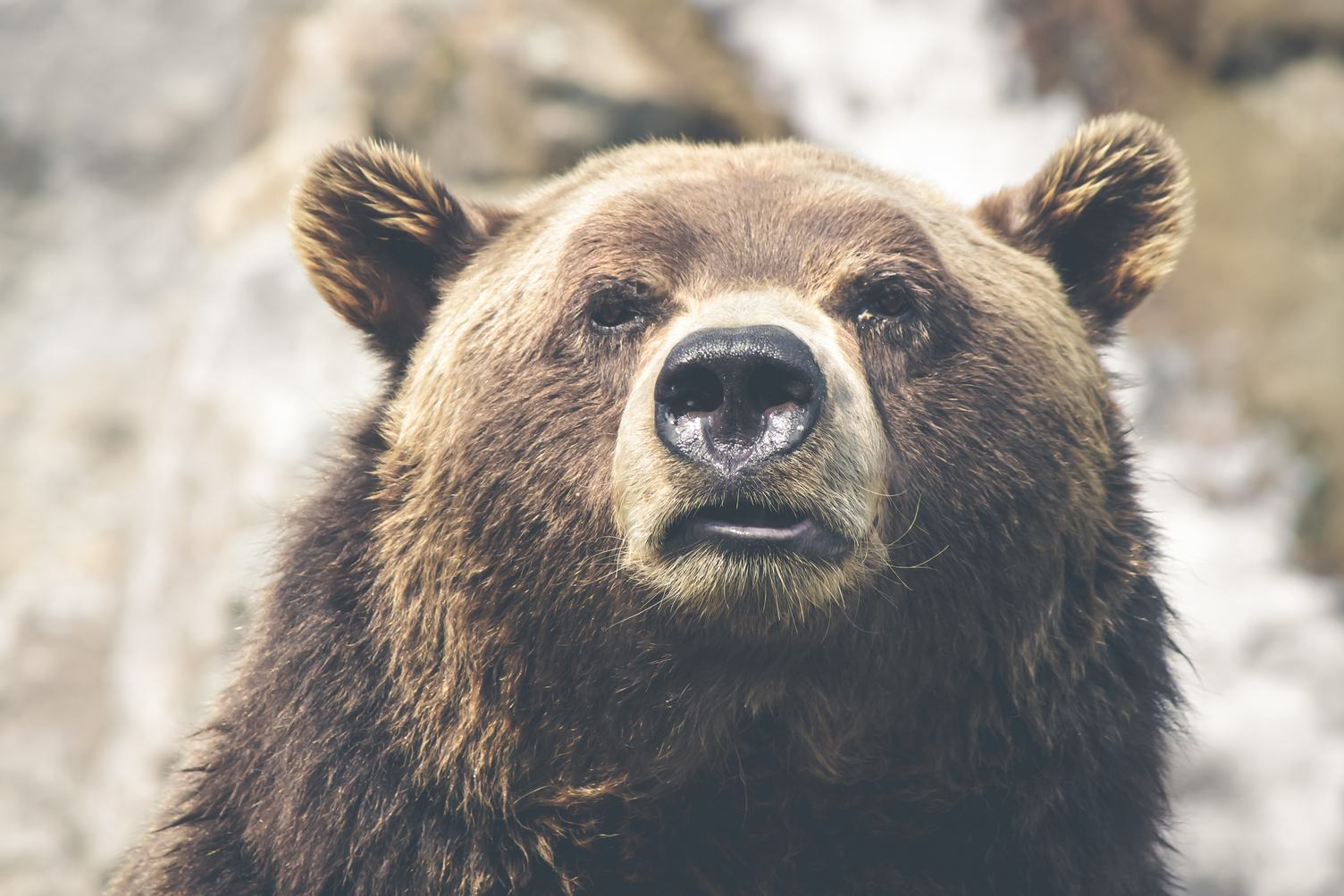 Closeup Portrait of a Brown Bear