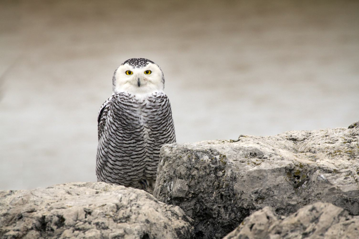 White Owl with Big Yellow Eyes on Rock
