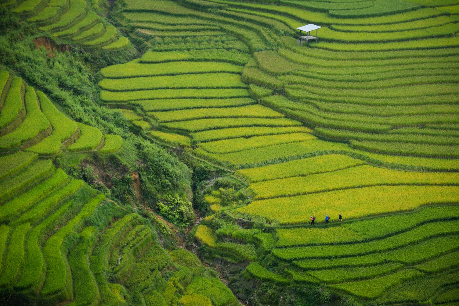 Green Terraced Rice Field