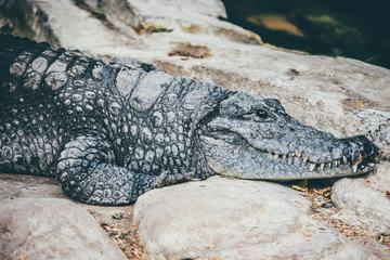 Close Up of a Crocodile on the Stone