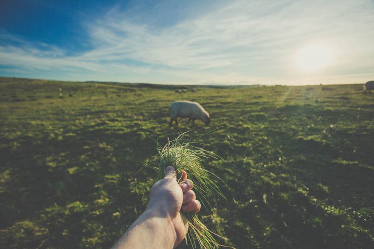 Hand Feeding Sheep with Grass in the Field