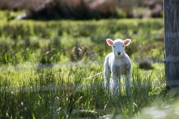 A Baby Lamb during Spring Grazing in a Sheep Farm