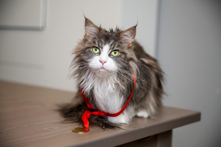 Portrait of Wet Longhair Maine Coon Cat