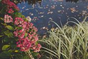 Blooming Hydrangea Bush on the Banks of the Pond