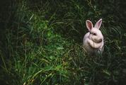 Cute, Small White Rabbit Sitting in the Grass