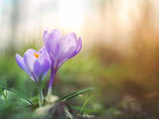 Beautiful Spring Purple Crocuses on the Blurred Background