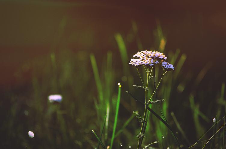 Yarrow Flower on a Green Blurred Background