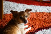 Small Dog on the Carpet