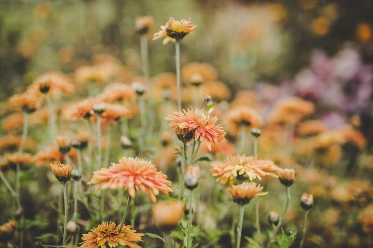 Orange Chrysanthemum Flowers in a Garden