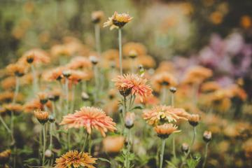 Orange Chrysanthemum Flowers in a Garden