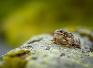 Frog Sitting on a Rock