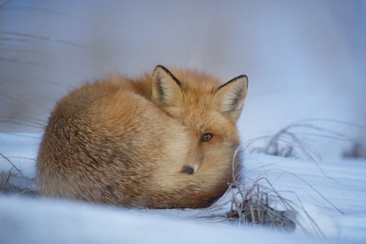Cute Red Fox in the Snow