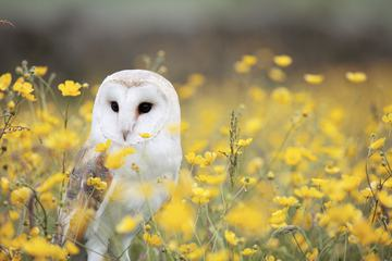 Beautiful Nature Scene with Barn Owl and Yellow Flowers