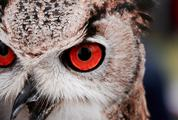 Great Horned Owl Staring with Red Eyes