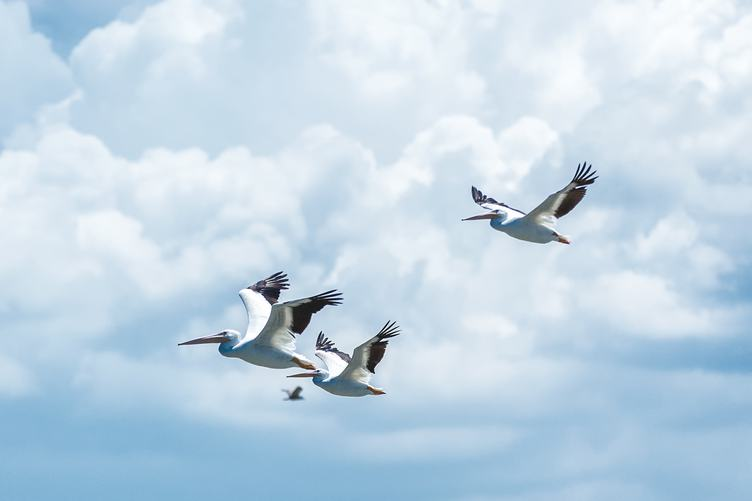 Great White Pelicans Fly