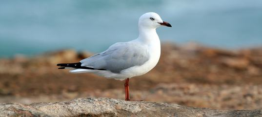 Close-Up of a White Seagull
