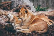 Lions Resting in the Zoo