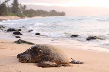 A Sea Turtle Rests on the Beach