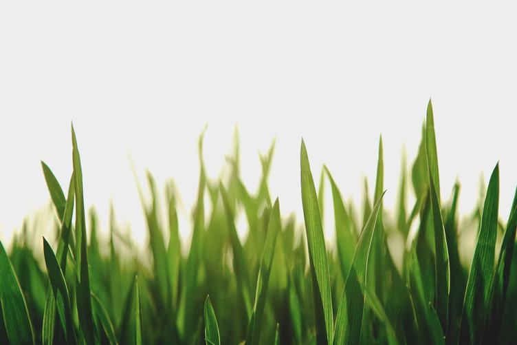 Fresh Spring Green Grass on White Background