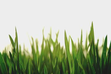 Fresh Spring Green Grass on White Background