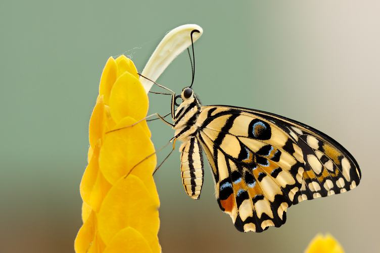 Butterfly Papilio Machaon on the Flower Closeup